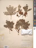view Quercus breviloba (Torr.) Sarg. digital asset number 1