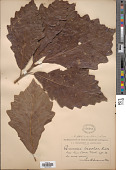 view Quercus bicolor Willd. digital asset number 1