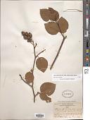 view Alnus fruticosa Rupr. digital asset number 1