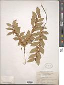 view Ulmus parvifolia Jacq. digital asset number 1