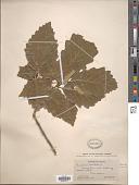 view Quercus muhlenbergii Engelm. digital asset number 1