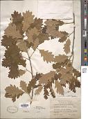 view Quercus x stelloides E.J. Palmer digital asset number 1