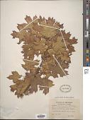 view Quercus shumardii var. acerifolia E.J. Palmer digital asset number 1