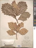 view Quercus aliena var. acutiserrata Maxim. ex Wenz. digital asset number 1