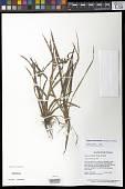 view Cyperus lacustris Schrader & Nees digital asset number 1