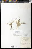 view Cyperus paramoensis G.C. Tucker digital asset number 1