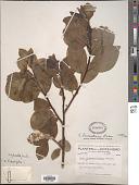 view Salix laurentiana Fernald digital asset number 1