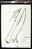 view Symphyotrichum concolor (L.) G.L. Nesom digital asset number 1