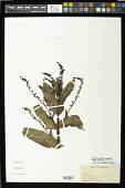 view Veronica anagallis-aguatica subsp. oxycarpa (Boiss.) Elenevsky digital asset number 1