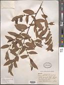 view Trema lamarckiana (Roem. & Schult.) Blume digital asset number 1