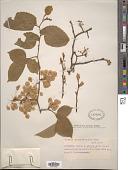 view Ulmus pedunculata Foug. digital asset number 1