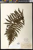 view Megalastrum galeottii (M. Martens) R.C. Moran & J. Prado digital asset number 1