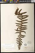 view Megalastrum squamosissimum (Sodiro) A.R. Sm. & R.C. Moran digital asset number 1