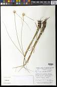 view Rhynchospora albiceps Kunth digital asset number 1