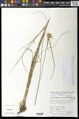 view Rhynchospora consanguinea (Kunth) Boeckeler digital asset number 1