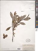 view Salix pedunculata Fernald digital asset number 1