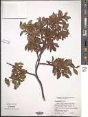 view Salix pulchra Cham. digital asset number 1