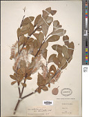 view Salix sitchensis Sanson ex Bong. digital asset number 1