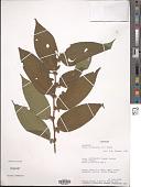view Trema orientalis (L.) Blume digital asset number 1