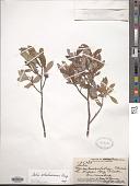 view Salix athabascensis digital asset number 1