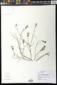 view Porophyllum gracile Benth. digital asset number 1