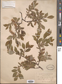 view Salix nigricans Sm. digital asset number 1