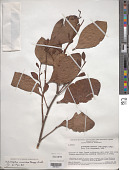view Antidaphne viscoidea Poepp. & Endl. digital asset number 1