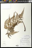 view Arachniodes aristata (G. Forst.) Tindale digital asset number 1