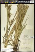 view Rhynchospora aff. schiedeana Kunth digital asset number 1