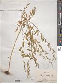 view Chenopodium boscianum digital asset number 1