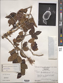 view Schoepfia tepuiensis Steyerm. digital asset number 1