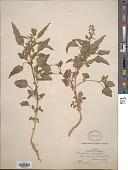 view Chenopodium murale L. digital asset number 1