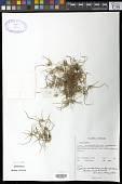 view Cyperus michelianus subsp. pygmaeus (Rottb.) Asch. & Graebn. digital asset number 1
