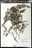 view Vandenboschia radicans (Sw.) Copel. digital asset number 1