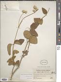 view Alternanthera villosa var. villosa digital asset number 1