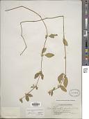 view Alternanthera flavogrisea Urb. digital asset number 1