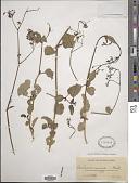 view Boerhavia adscendens Willd. digital asset number 1
