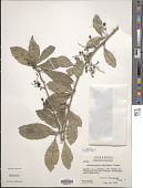 view Achatocarpus nigricans Triana digital asset number 1