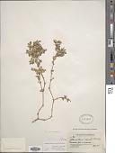 view Alternanthera canescens Kunth digital asset number 1