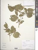 view Rivina humilis L. digital asset number 1