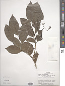 view Neea choriophylla Standl. digital asset number 1