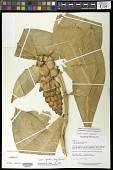 view Costus spiralis var. villosus Maas digital asset number 1