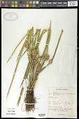 view Schoenoplectus articulatus (L.) Palla digital asset number 1