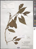 view Phytolacca meziana H. Walter in Engl. digital asset number 1