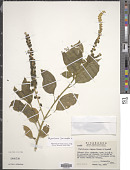 view Phytolacca icosandra L. digital asset number 1