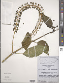 view Phytolacca rivinoides Kunth & C.D. Bouché digital asset number 1
