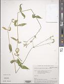 view Cerastium pauciflorum Stev. ex Ser. digital asset number 1