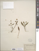 view Claytonia caroliniana Michx. digital asset number 1