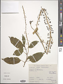 view Phytolacca decandra L. digital asset number 1