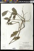 view Palicourea iodotricha (Müll. Arg.) Delprete & J.H. Kirkbr. digital asset number 1